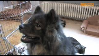 Chinese Foo Dog Auch Glückshund Genannt