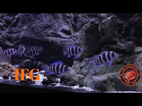 Epic Species Only Aquarium Reveal | Burundi Cyphotilapia  Frontosa | African Cichlid Tank |