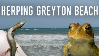 CRABS, LIZARDS, and TOADS on the Beach? | Herping Grayton Beach State Park