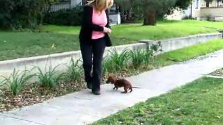 Dachshund Puppy Show Training