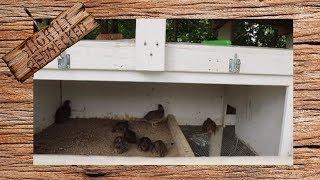 Adding Some Baby Quail to The Breeding Flock