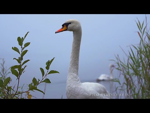 Гёйгёль и лебеди - музыка заповедного озера | Film Studio Aves