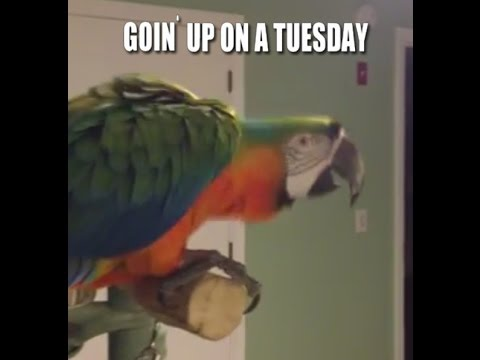 Parrot Dancing Up In The Kitchen