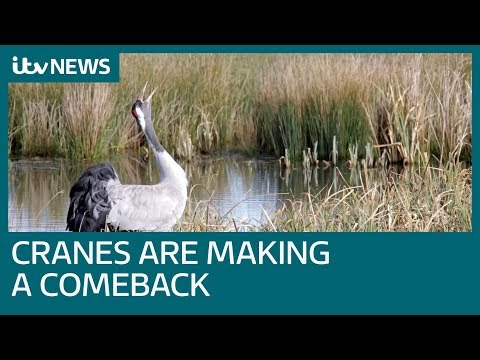 Cranes make a comeback in the UK | ITV News