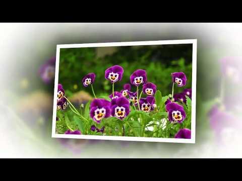 Про цветы Анютины глазки
