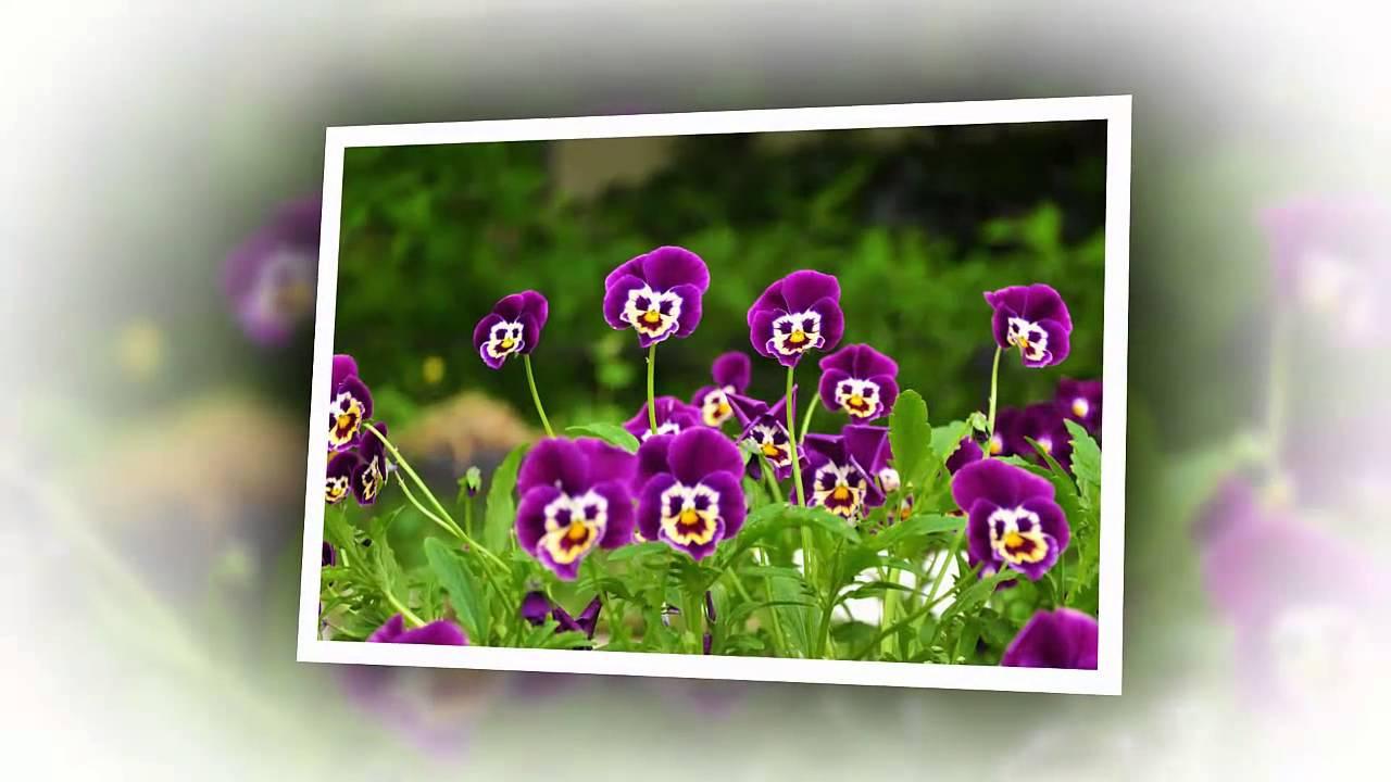 Про цветы Анютины глазки - YouTube