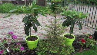 Мои экзотические растения: мушмула японская, цитрусовые, бугенвиллея, инжиры из семян 29