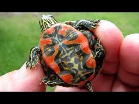 Unboxing Hatchling Painted Turtle