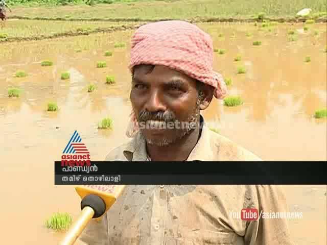 In Kannur ,farmhands are Tamilnadu migrant workers ക്യഷിയ്ക്കും അന്യസംസ്ഥാന തൊഴിലാളികള്