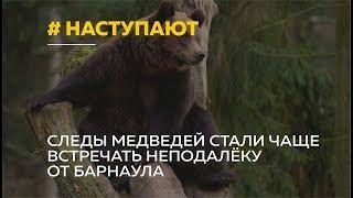 Медведи наступают Неподалеку от Барнаула стали чаще встречать следы медведей