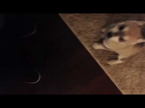 Happy puppy national day Alaskan Klee Kai / mini Husky Pup miko taking his first steps and howls