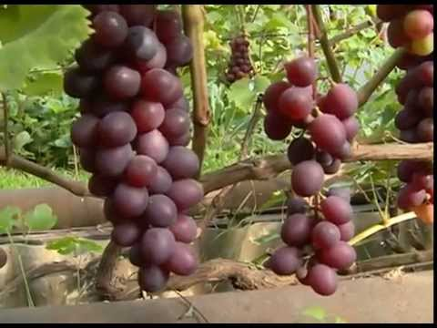 О сортах винограда в Сибири