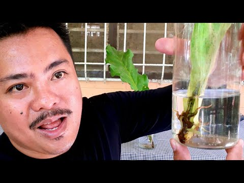 3 Methods On How To Propagate Waves Of Love Plant Anthurium Plowmanii Youtube