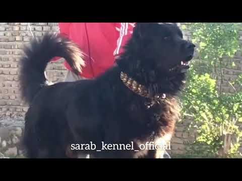 ✔️ Ashil, an aggressive Sarabi dog | Iranian mastiff | Read the description for contact