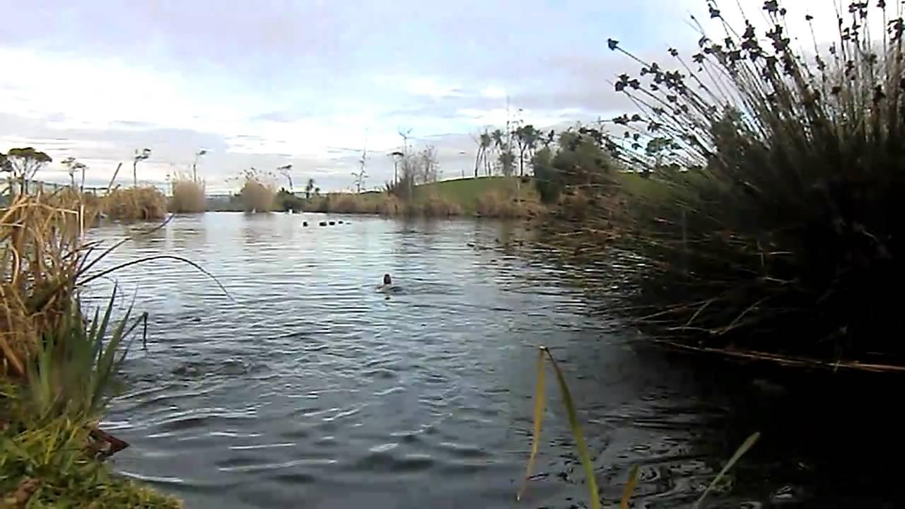 Patos jugando en un estanque sonido natural youtube for Estanque natural