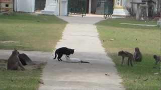 Monkeys Break up Cat Fight