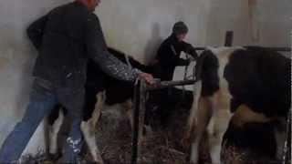 sprzedaż byków i przeprowadzenie małych do obory