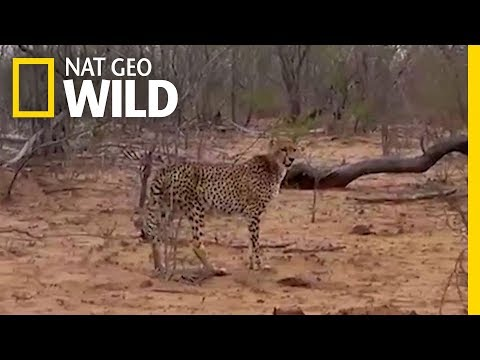 Vultures Gang Up on Cheetah, Steal Its Dinner | Nat Geo Wild