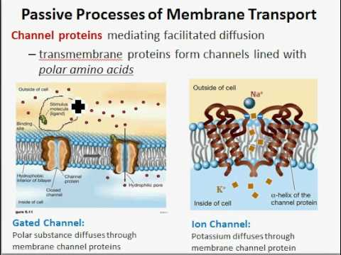 a review of the passive and active transport in cell membrane Start studying cell membrane, passive and active transport review learn vocabulary, terms, and more with flashcards, games, and other study tools.