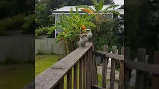 シドニー生活💕 ワイルド過ぎる朝 。。野生の鳥が可愛い!?