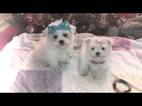 Maltese Puppies Baby Doll Faces Glitter And Glow Houston Texas