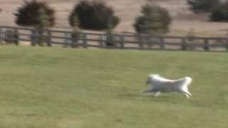 Samoyeds Lure Coursing