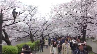 【4K】beautiful cherry blossom In Ueno park Tokyo Japan 2016