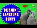 Suara Perkutut Liar Cocok Untuk Pancingan Perkutut Yg Malas Bunyi Masteran  Mp3 - Mp4 Download