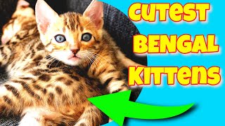 Bengal Kitten | Bengal Cat Tips