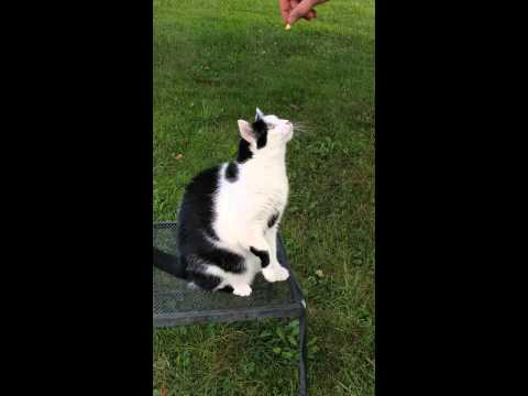 The Most Amazing Cat Trick You Ever Saw!! Felix the Cat…Where are your Ears?