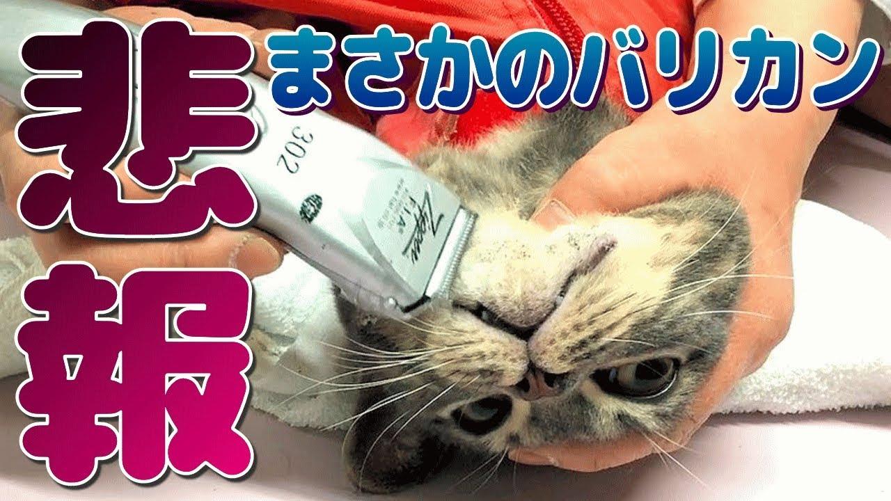 にきび 猫 あご 【猫の顎ニキビが酷い】簡単に取れる拭き方と1年かけて見つけた予防方法