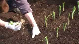 Vegetable Gardening Tips - How to plant walla walla onions