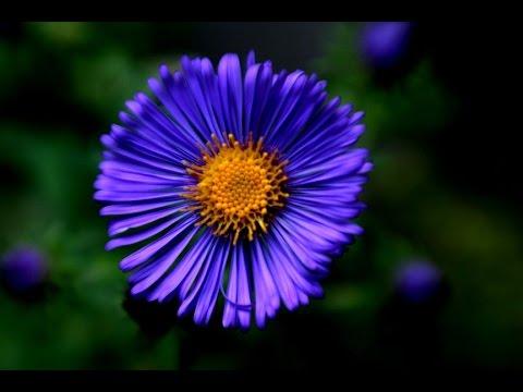 Blue Flower Names