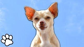 100 Sassy Chihuahua Videos | Funny Dog Compilation