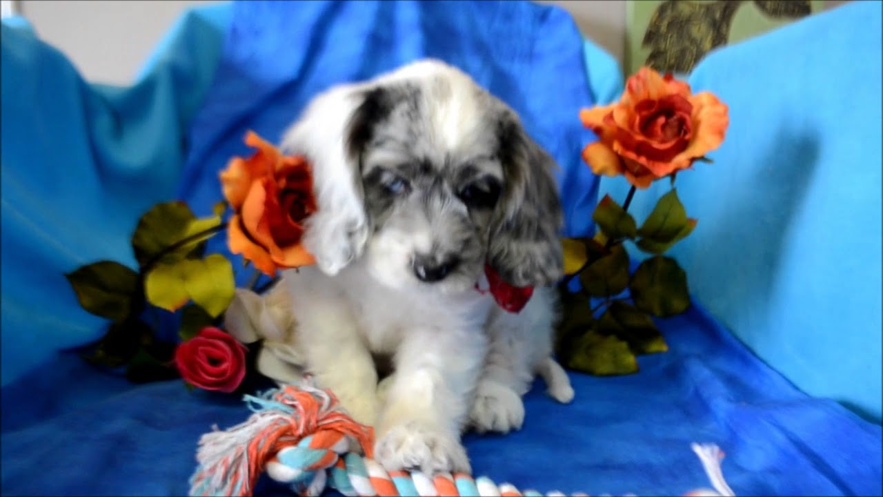 Casper Male Blue Merle Parti Blue Eyes Cockapoo Puppy For Sale Youtube