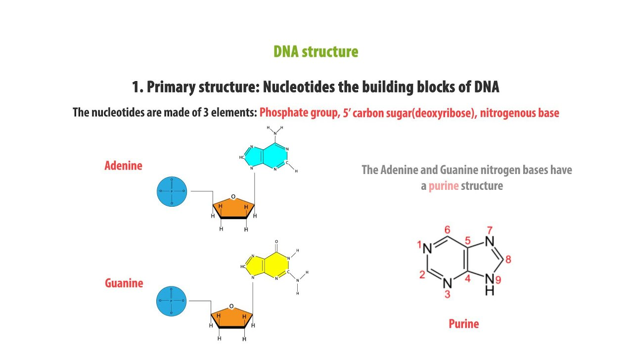 dna structure nucleotide simple and quick learning genomics part 1 [ 1280 x 720 Pixel ]