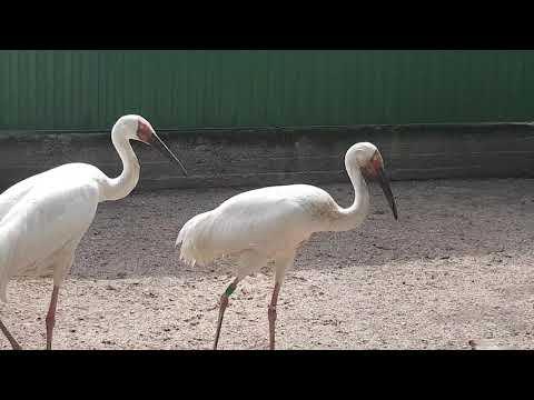 A pair of Siberian white cranes