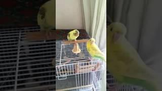 メスの親鳥が雛に餌を与えてます.