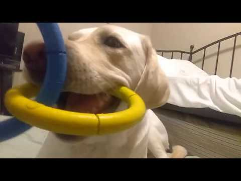 Guide Dog Huckleberry Plays With Tug Toy.