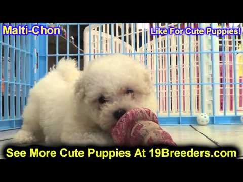 Lhasa Apso, Puppies, Dogs, For Sale, In Charlotte, North