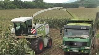 corn silage Bac Quang JSC