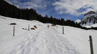 Cavalier King Charles Spaniel Charly and Golden Retriever Roxy in the Swiss Alps, Bernese Oberland