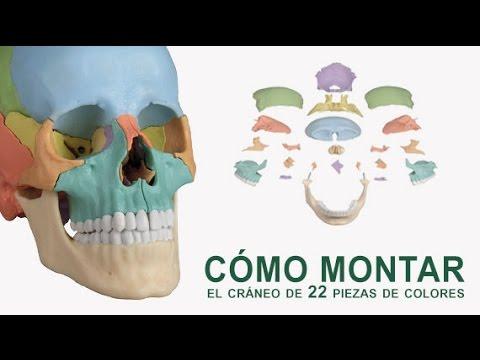 CÓMO MONTAR el cráneo de 22 piezas de colores - YouTube