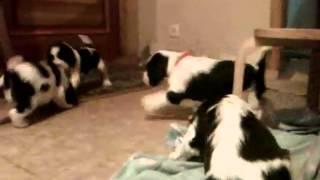 Английский спрингер спаниель щенки