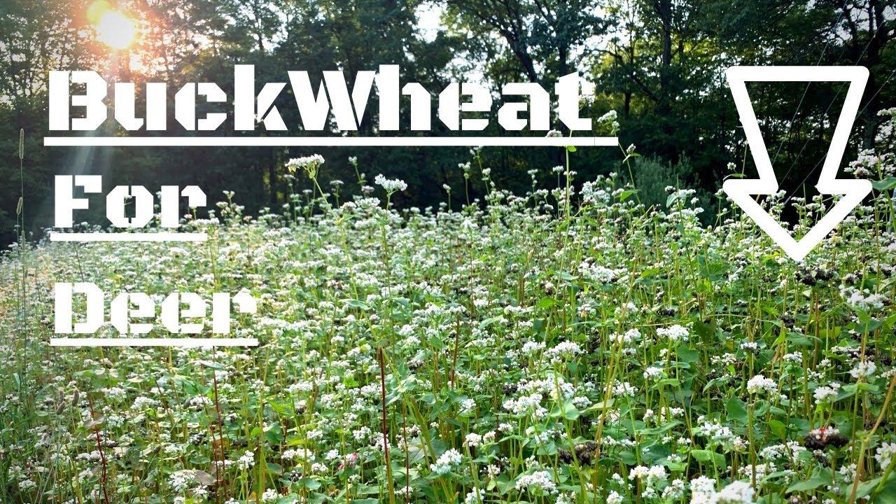 Buckwheat Food Plots For Deer Helps To Build Organic Matter Ep 6 Youtube