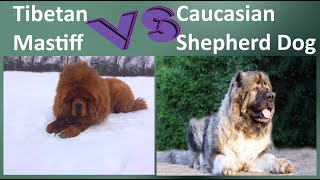 Tibetan Mastiff VS Caucasian Shepherd Dog  Breed Comparison