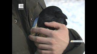 Житель Красноярска спас раненую ворону и ходит с ней гулять