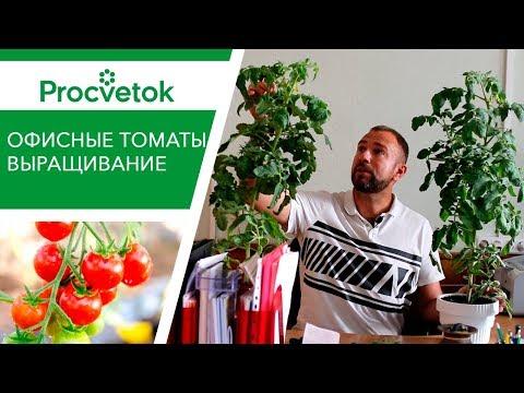 Вырастить богатый урожай сладких томатов не выходя из дома! Легко! Выращивание томатов в горшке.