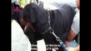 Rottweiler Stud Service