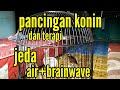 Pancingan Dan Terapi Konin Dengan Suara Air Dan Brainwave Konin Sumatra  Mp3 - Mp4 Download